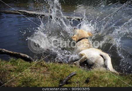 labrador falling into the water stock photo, labrador falling into the water by Michael Jenewein