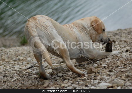 wet labrador in front of the lake stock photo, wet labrador in front of the lake by Michael Jenewein