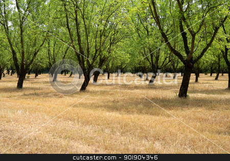 Rows of trees stock photo, Rows of trees by photography33