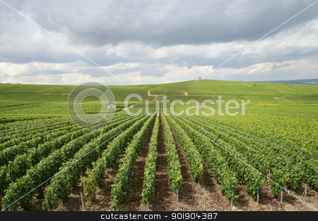 Vast vineyard stock photo, Vast vineyard by photography33