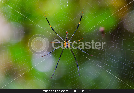 Mai Thong spider stock photo, Mai Thong spider . Colorful spider in web . by chatchai
