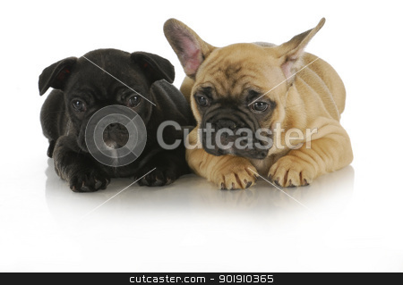 littermates stock photo, littermates - two french bulldog puppies on white background - 8 weeks old by John McAllister