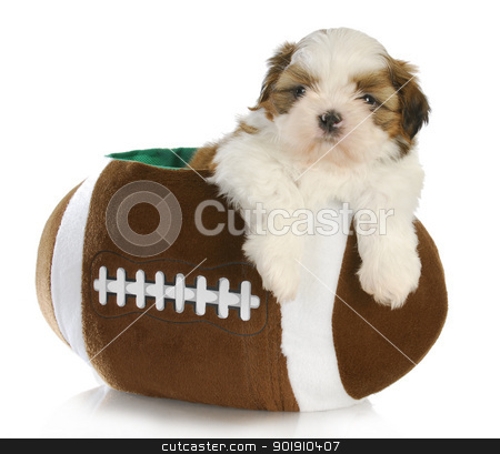 cute puppy stock photo, cute puppy - shih tzu puppy sitting inside a stuffed football - 6 weeks old by John McAllister