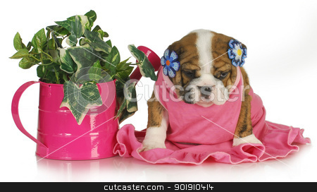 spring puppy stock photo, spring puppy - female english bulldog puppy sitting beside watering can of ivy 7.5 weeks old by John McAllister