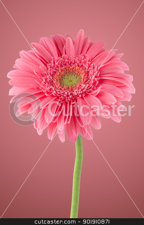 Pink gerbera daisy flower stock photo, Pink gerbera daisy flower on pink background. by Homydesign