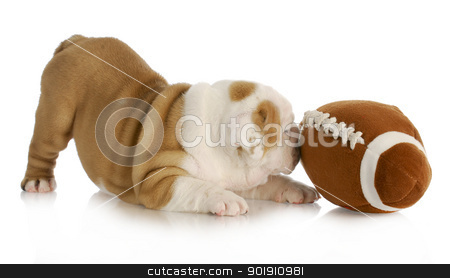 playful puppy stock photo, playful puppy - english bulldog puppy playing with football by John McAllister