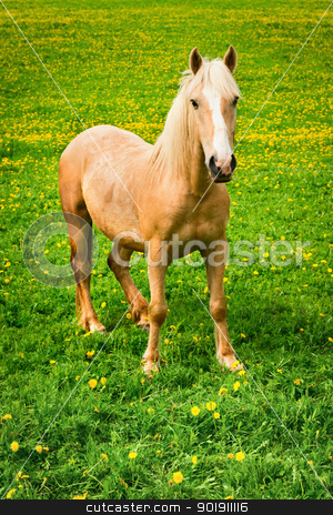 Horse on green pasture stock photo, Horse on green pasture with yellow flowers by Iryna Rasko