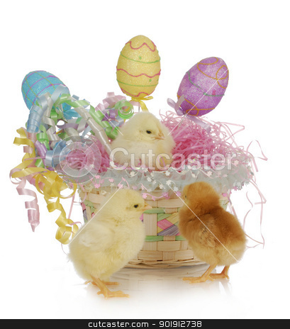 easter basket and chicks stock photo, adorable chicks in colorful easter basket with reflection on white background by John McAllister