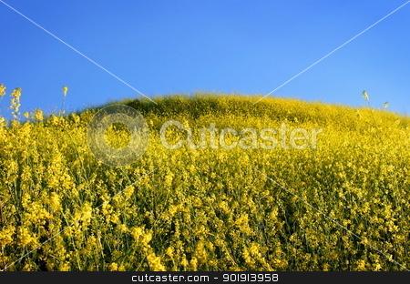 Mustard Grass stock photo, Landscape shot of full yellow bluming mustard grass. by Henrik Lehnerer