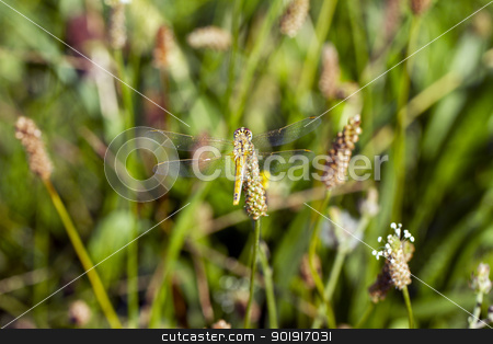 Golden-winged dragonfly stock photo, Golden-winged dragonfly laying over a plant by Fabio Alcini