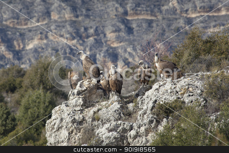 Vultures in las Hoces del Duraton, Segovia, Spain stock photo, Vultures in las Hoces del Duraton, Segovia, Spain by B.F.