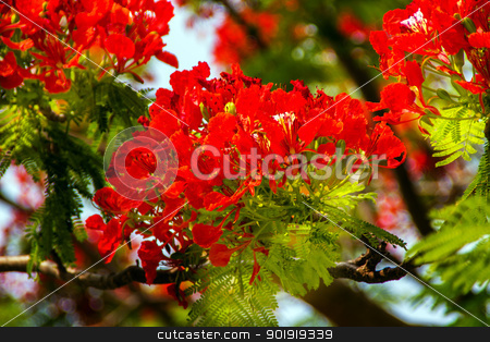 Red Flame Tree Delonix Regia Hong Kong stock photo, Bright Red Orange Flame Tree Green Fern Leaves Delonix Regia Hong Kong Royal Poinciana Flamboyant Krishnachura Gulmohar by William Perry