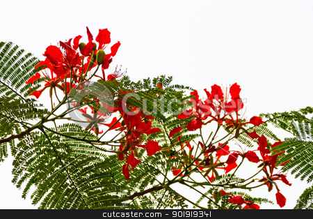 Red Flame Tree Silhouette Delonix Regia Hong Kong stock photo, Bright Red Orange Flame Tree Green Fern Leaves Silhouette Delonix Regia Hong Kong Royal Poinciana Flamboyant Krishnachura Gulmohar by William Perry