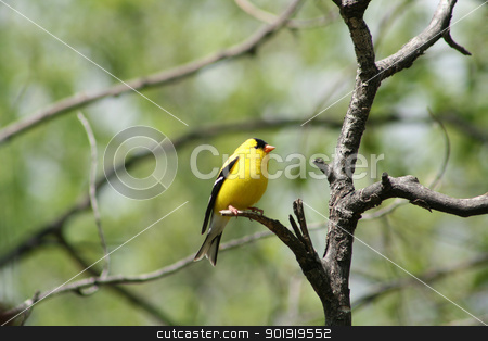 American Goldfinch on a Tree Branch stock photo, An American Goldfinch perched on a tree branch in a forest in spring in Winnipeg, Manitoba, Canada by Robert Hamm