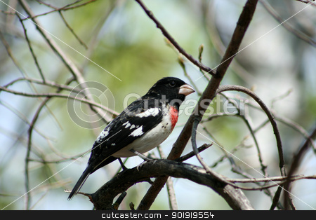 Rose Breasted Grosbeak stock photo, A Rose Breasted Grosbeak perched in a tree in spring in Winnipeg, Manitoba, Canada by Robert Hamm