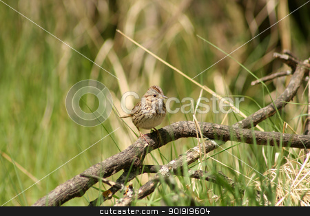 Pine Siskin on a Branch stock photo, A small Pine Siskin perched on a tree branch in spring in Winnipeg, Manitoba, Canada by Robert Hamm