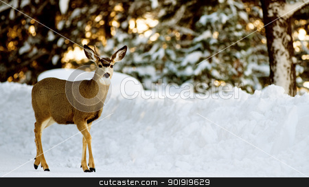 Deer on snow stock photo, Single young deer on a path with a pile of snow and trees behind him. by txking