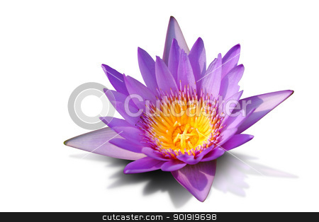 Pink water lily isolated on white background, with clipping path stock photo, This plant is common in shallow lakes and ponds throughout temperate and tropical Asia by Sailom