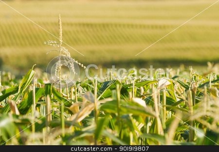 Endless view of the corn field stock photo, Rows of corn stretching as far as the eye can see. A single lone tassel sticking up. Focus is fairly shallow with main point on the tassel. Possible use for farming or ethanol or alcohol production by txking