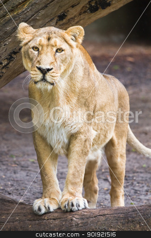 Female asian lioness - Panthera leo persica stock photo, Female asian lioness - Panthera leo persica - verical image by Colette Planken-Kooij