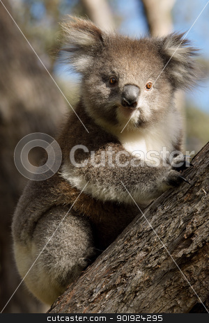 Koala on tree stock photo, A little koala on a eucalyptus tree in Australia by Marco Tomasini