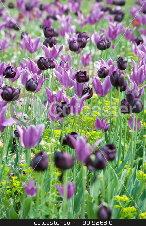 Flowers stock photo, Colorful field of flowers by Picturehunter