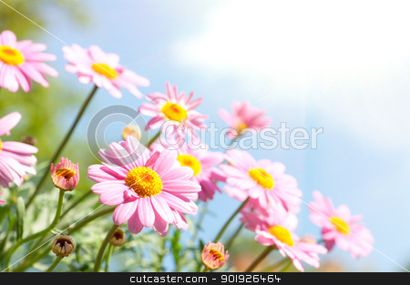Pink daisy stock photo, Pink daisy in front of blue sky with flowers by Picturehunter