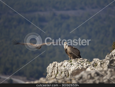 Pair of vultures, Hoces del Duraton, Segovia, Spain stock photo, Pair of vultures, Hoces del Duraton, Segovia, Spain by B.F.