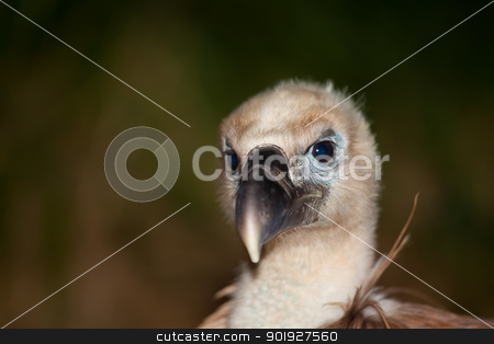 Vulture, The Merindades, Burgos, Spain stock photo, Vulture, The Merindades, Burgos, Spain by B.F.