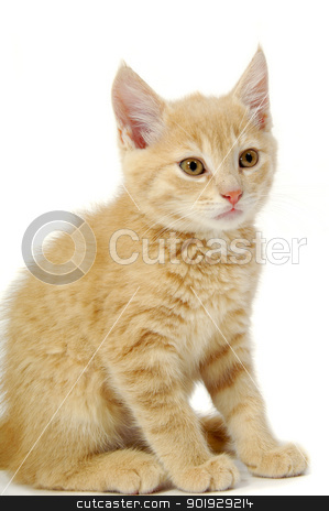 Kitten stock photo, A kitten is sitting on a white background by Lars Christensen