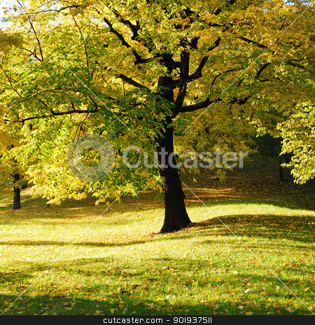 Yellow Tree in Park stock photo, Autumn Morning Light in Park with Yellow Maple Tree by zagart