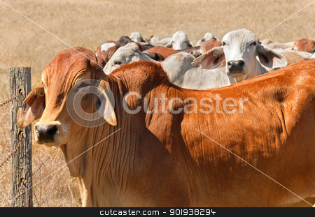 Australian beef herd brown brahman cattle live animals stock photo, Australian beef cattle herd brown brahman cows live animals on ranch by sherjaca