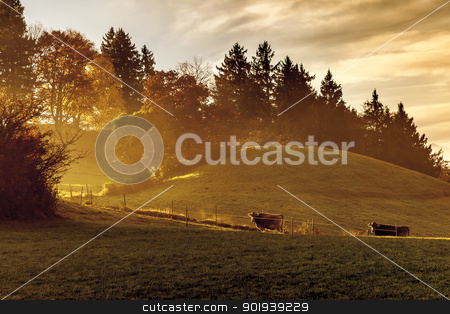 golden light stock photo, An image of a nice autumn light with two cows by Markus Gann