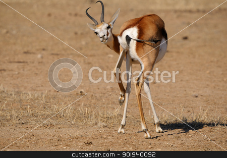 Springbok in a funny position stock photo, Springbok in a funny position.Kgalagadi Transfrontier Park, South Africa by Grobler du Preez