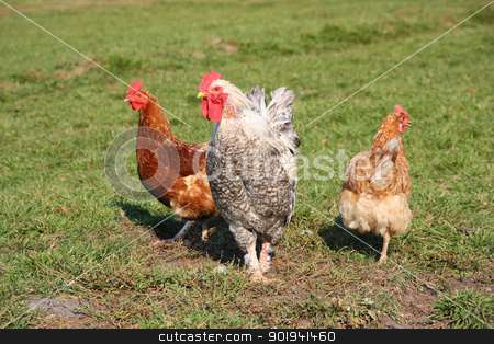 A brightly colored cockerel and chicken  stock photo, A brightly colored cockerel and chicken in a field in springtime by aarrows
