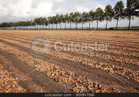 onions ready to be harvested on a field in Holland stock photo, onions ready to be harvested on a field in Holland in Haarlemmermeer by anton havelaar