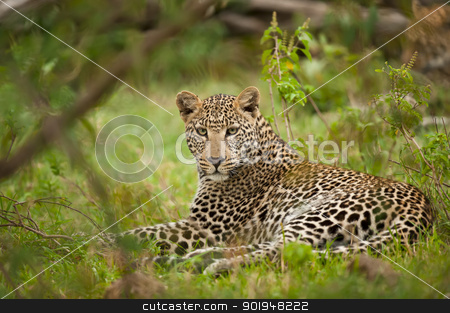 leopard laying  stock photo, leopard in masai mara, looking in camera by faabi