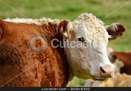 Happy Cow stock photo, A cow looks around. by Volker Pape
