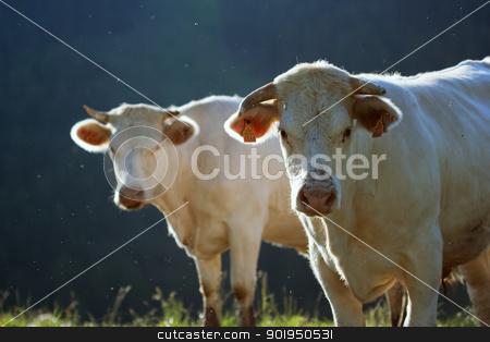 cows in a prairie stock photo, cows in a prairie by Christophe Rolland