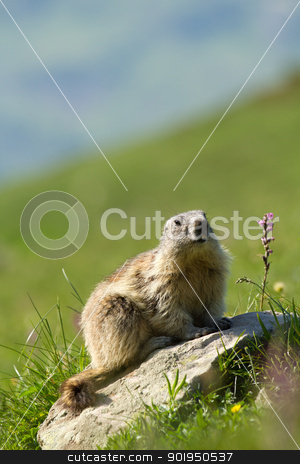 marmot in the alps stock photo, A cute marmot in the alps by Christophe Rolland