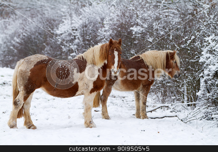 Two Horse on snow stock photo, Two Horses in winter on a snowy landscape by Christophe Rolland