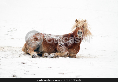 Horse in snow stock photo, A horse playing in a snowy landscape by Christophe Rolland