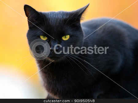 portrait of a black cat stock photo, portrait of a black cat on a blurry background by Christophe Rolland