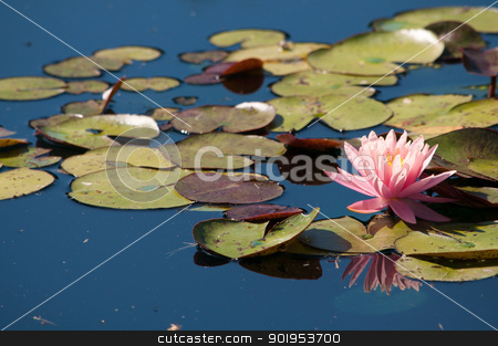 Pink Lotus stock photo, A pink lotus blooms in a pond. by Joe Tabb