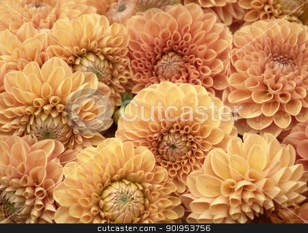 Dahlia flowers stock photo, lots of orange Dahlia flowers by prill