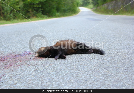 dead ferret on the road stock photo, dead ferret (mustela putorius) was hit by a car while passing a mountain  road by coroiu octavian
