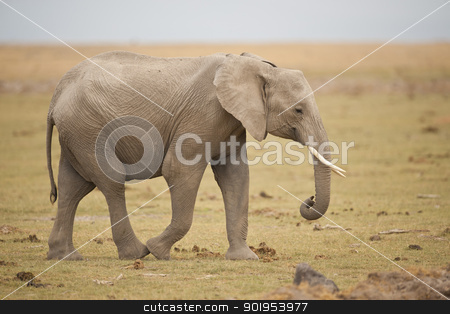 elephant walking stock photo, elephant walking in the savannah of Amboseli National Park in Kenya by faabi