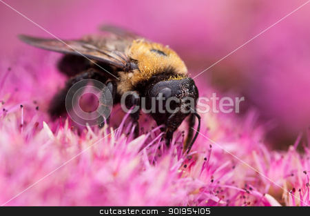 Pollinating Bee stock photo, A bee pollinates a seedum plant. by Joe Tabb