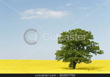 Rape stock photo, Yellow rape field with a green tree in front of blue sky by Picturehunter