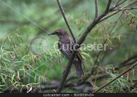 Starling bird stock photo, European starling bird on the branch by Sreedhar Yedlapati